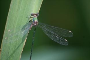 Libellencontent (4)
