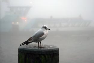 Nebelmöwen Teil 2 (1)